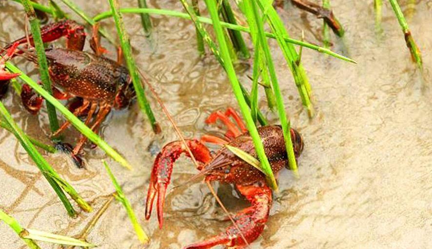 小龙虾白天老往岸上爬 可能是环境恶劣缺氧